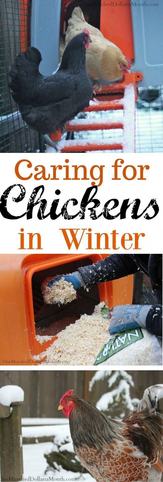 Caring for Chickens in the Winter | Chickens in the winter ...