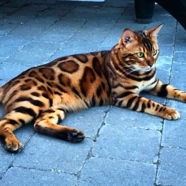 Thor ist die wohl schönste Katze der Welt | InTouch