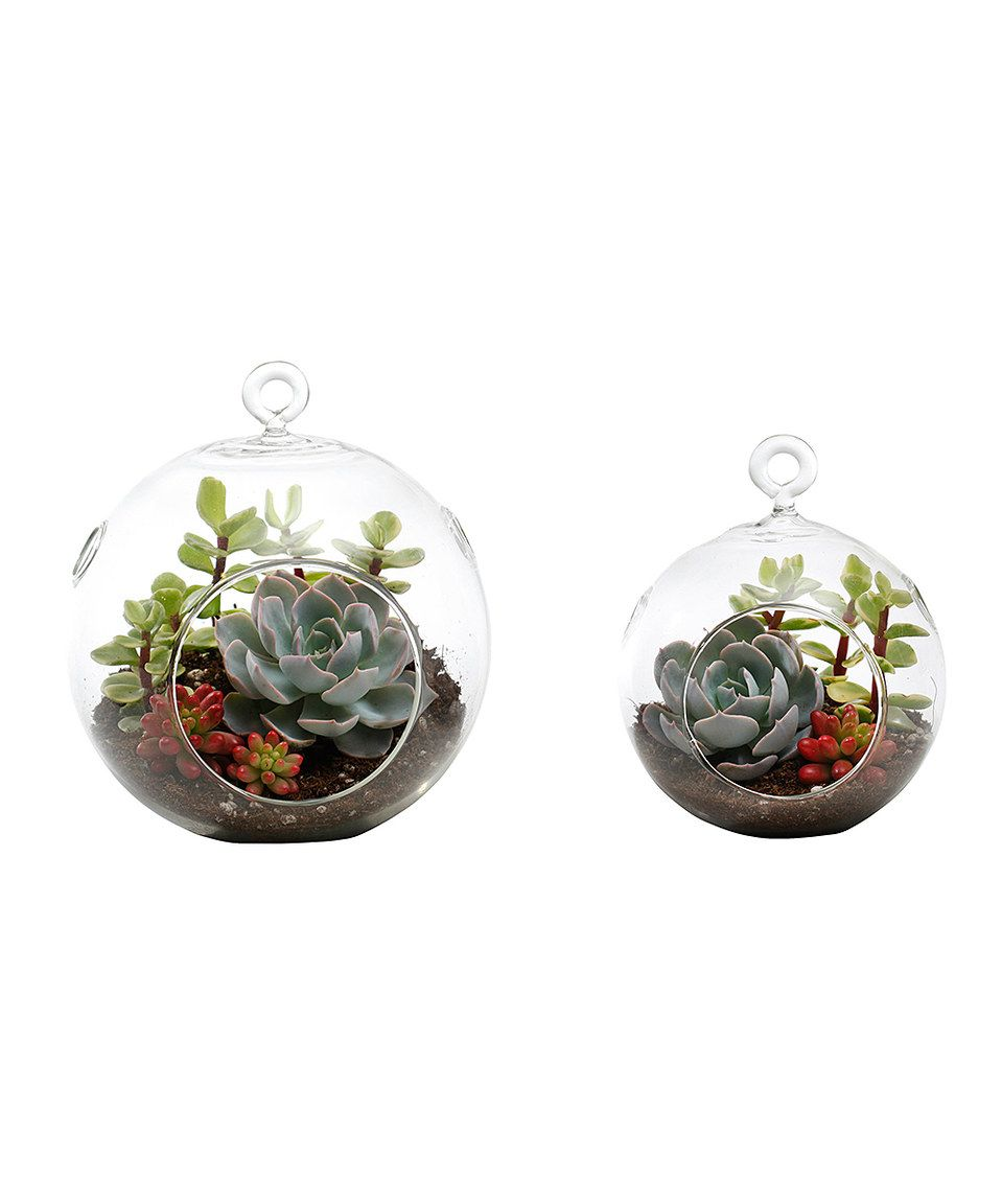 Look what I found on #zulily! Live Mia Succulent Terrarium Set by Source Succulents #zulilyfinds