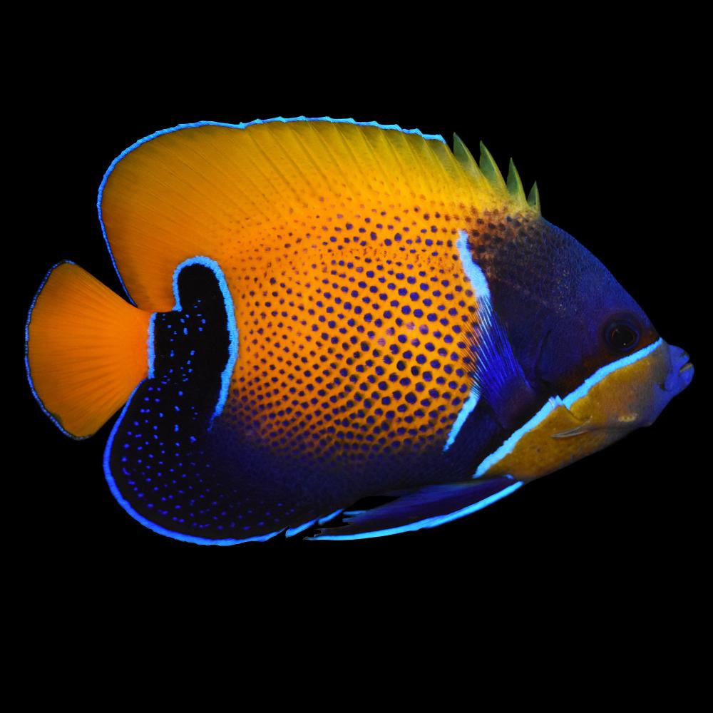 Majestic Angel Blue Girdled Angelfish Small Petco In 2020 Angel Fish Aquarium Fish For Sale Saltwater Aquarium Fish