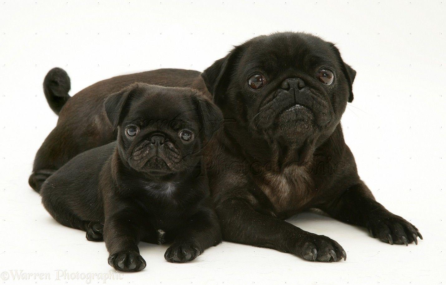 Adult Black Pug Black Pug Puppies