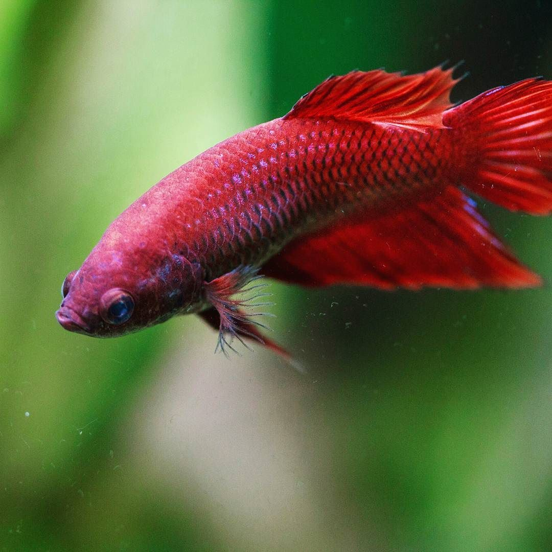 Lady in red. Valor the female betta. Usually I see a lot of photos ...