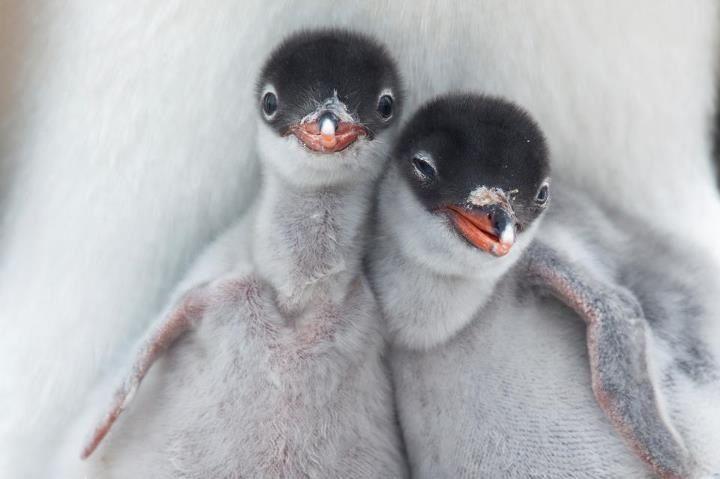Piguin babys ❤