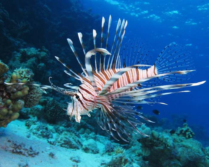 Jenis Dan Harga Ikan Lionfish Lionfish Merupakan Salah Satu Jenis Ikan Hias Air Asin Yang Cukup Banyak Diminati Oleh Berbagai Kalangan Ma Binatang Hewan Ikan