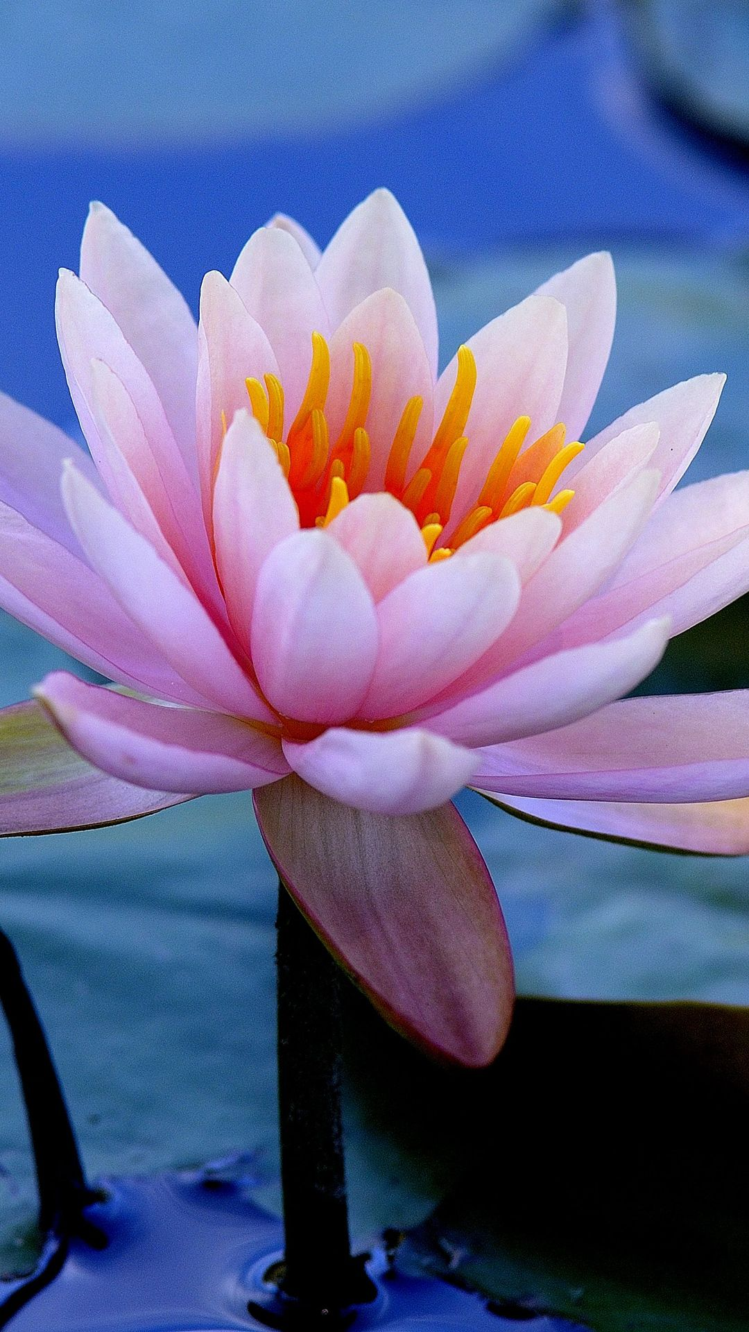 Earth Water Lily Flowers closeup flower nature pink