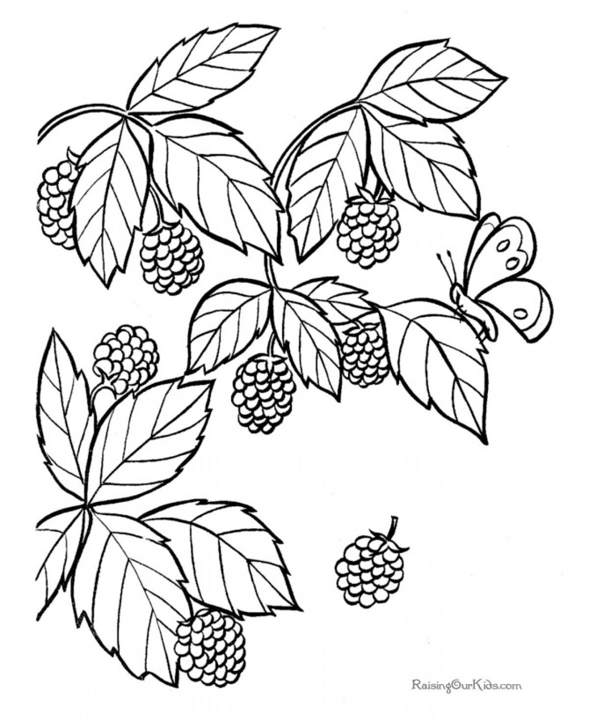 Advice Blackberry Coloring Page Fruit Drawing At Getdrawings Free