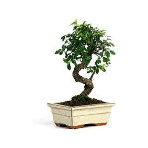 indoor houseplants indoor plants bonsai trees tropical house plants frontgate
