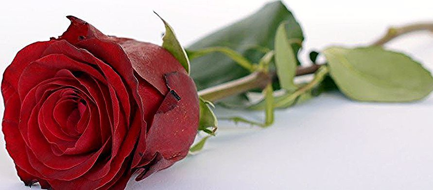 Pin On Mawar Merah