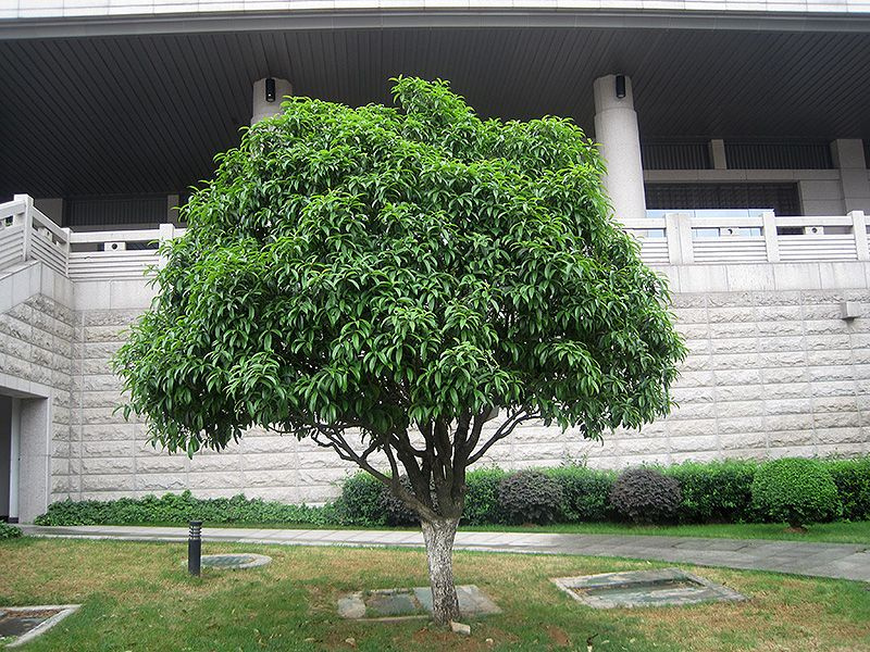osmanthus fragrans thunbergii as a small tree ? 10\' x 8\' and as a ...
