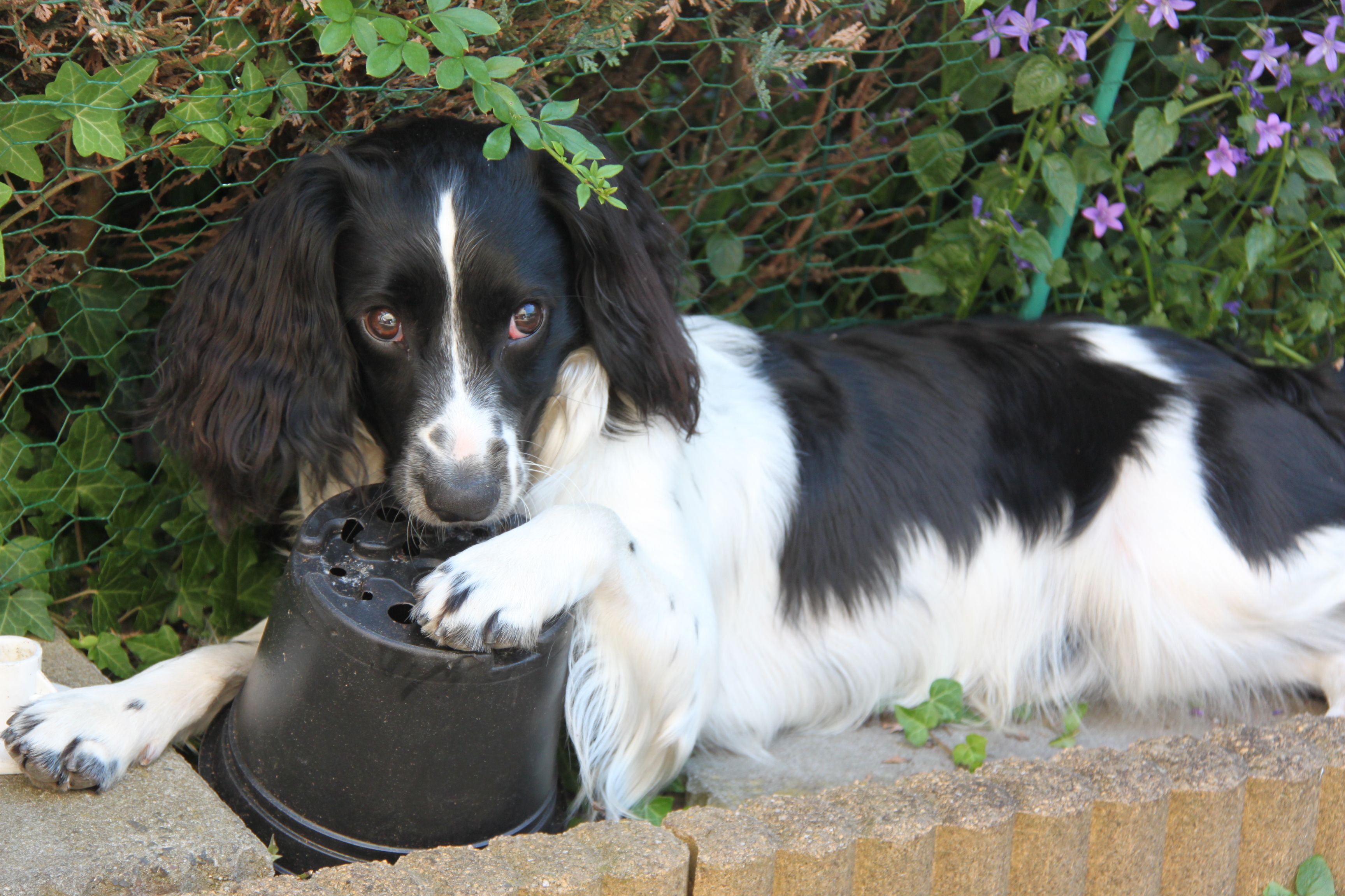 Pin By Susiemac On Springer Spaniel Springer Spaniel Puppies Springer Spaniel English Springer Spaniel