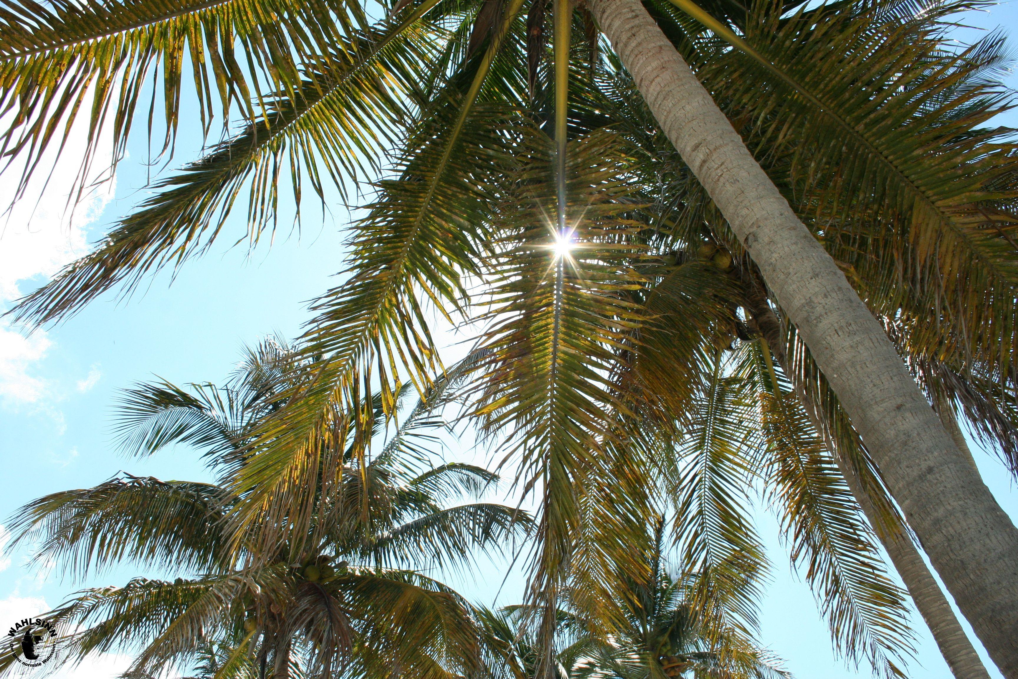 Traumstrand - Kokosnusspalme // Maria La Gorda (Kuba)