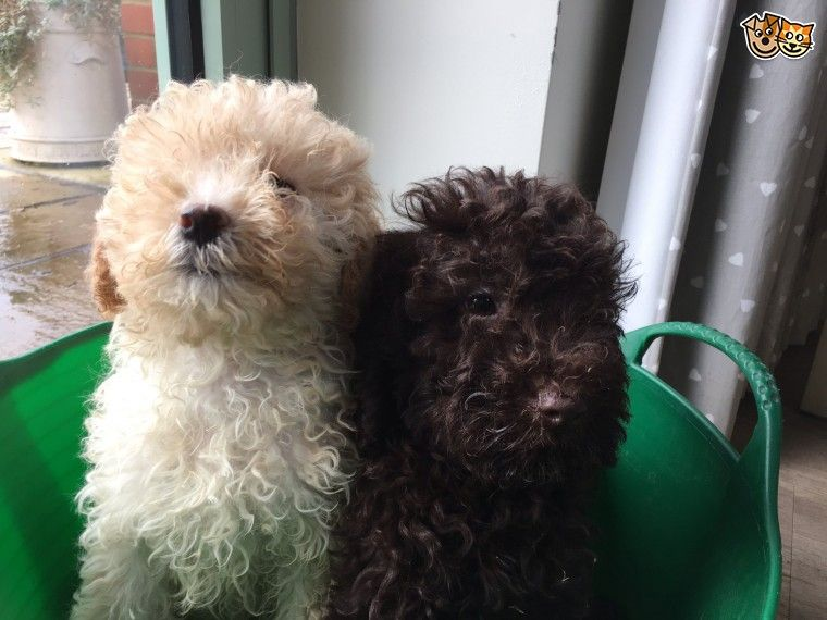 Super Cockerpoo Puppies Cockerpoo Puppies Pet Puppy