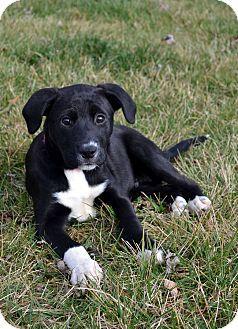 Columbus Oh Labrador Retriever Border Collie Mix Meet Cheesy A Puppy For Adoption Http Www Adoptapet Com Puppy Adoption Labrador Retriever Pet Adoption