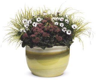 """Trvalky do polotieňa Vo výsadbe vhodnej na terasu je okrasná tráva puškvorec  (Acorus """"Ogon""""), zbehovec  ( Ajuga """"Black Scallop""""), rozchodník  (Sedum """"Garnet Brocade"""") a Osteospermum """"White"""""""