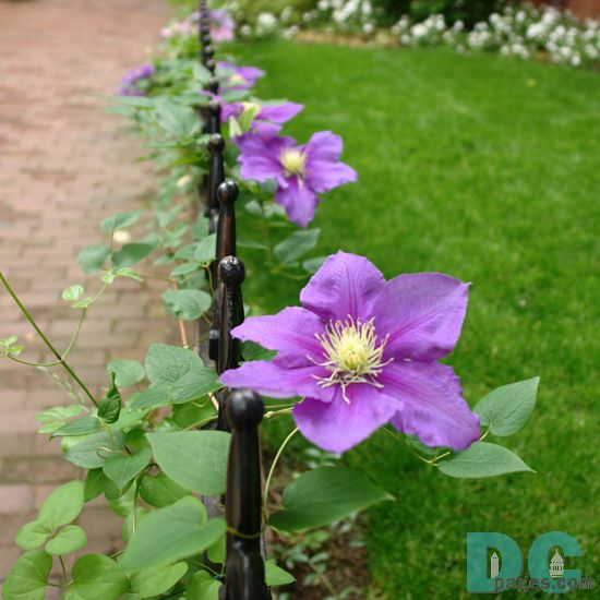 Purple Clematis also known as traveller's joy, leather flower, vase vine and virgin's bower