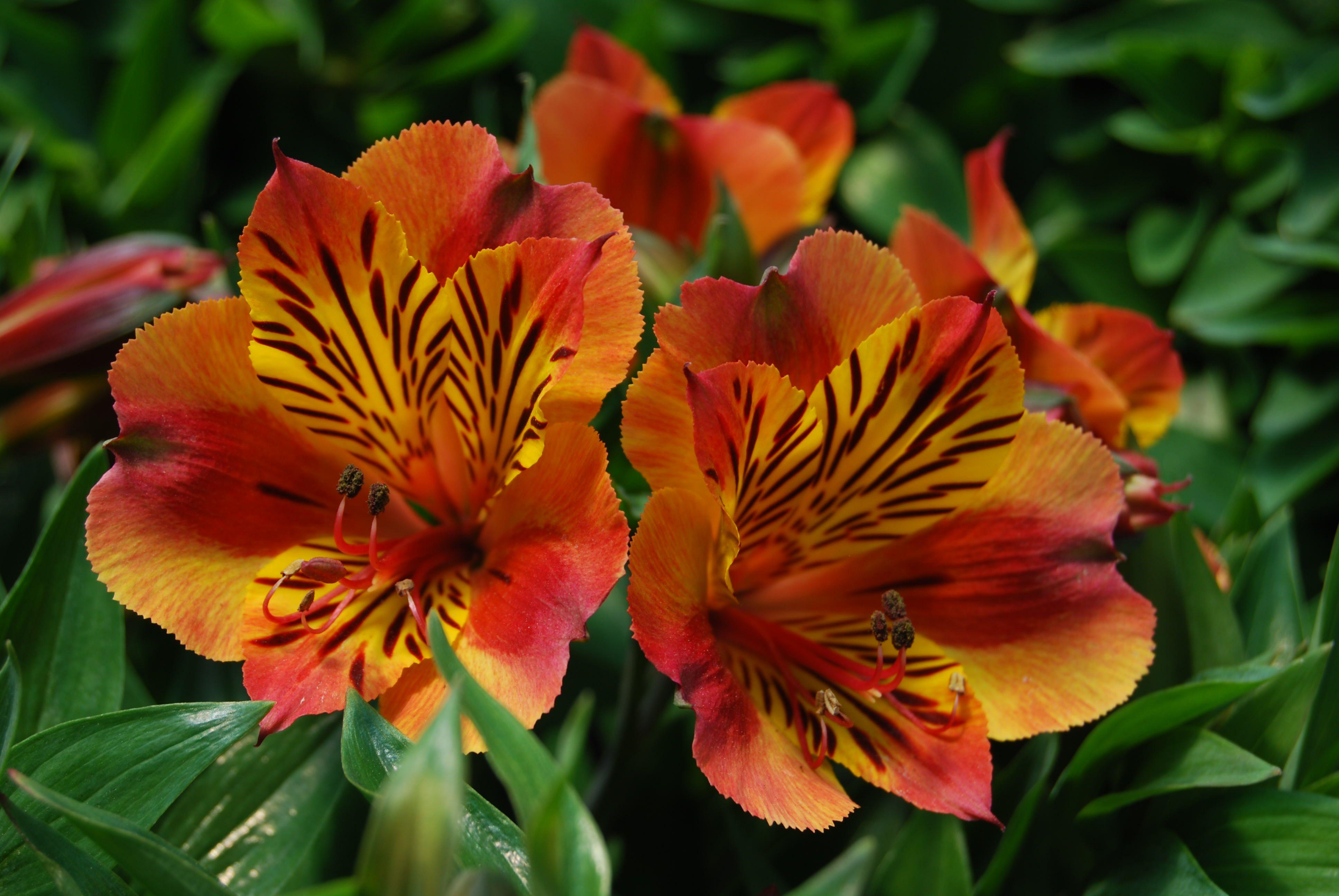 Alstroemeria peruvian lily flowers pinterest peruvian lilies alstroemeria peruvian lily izmirmasajfo
