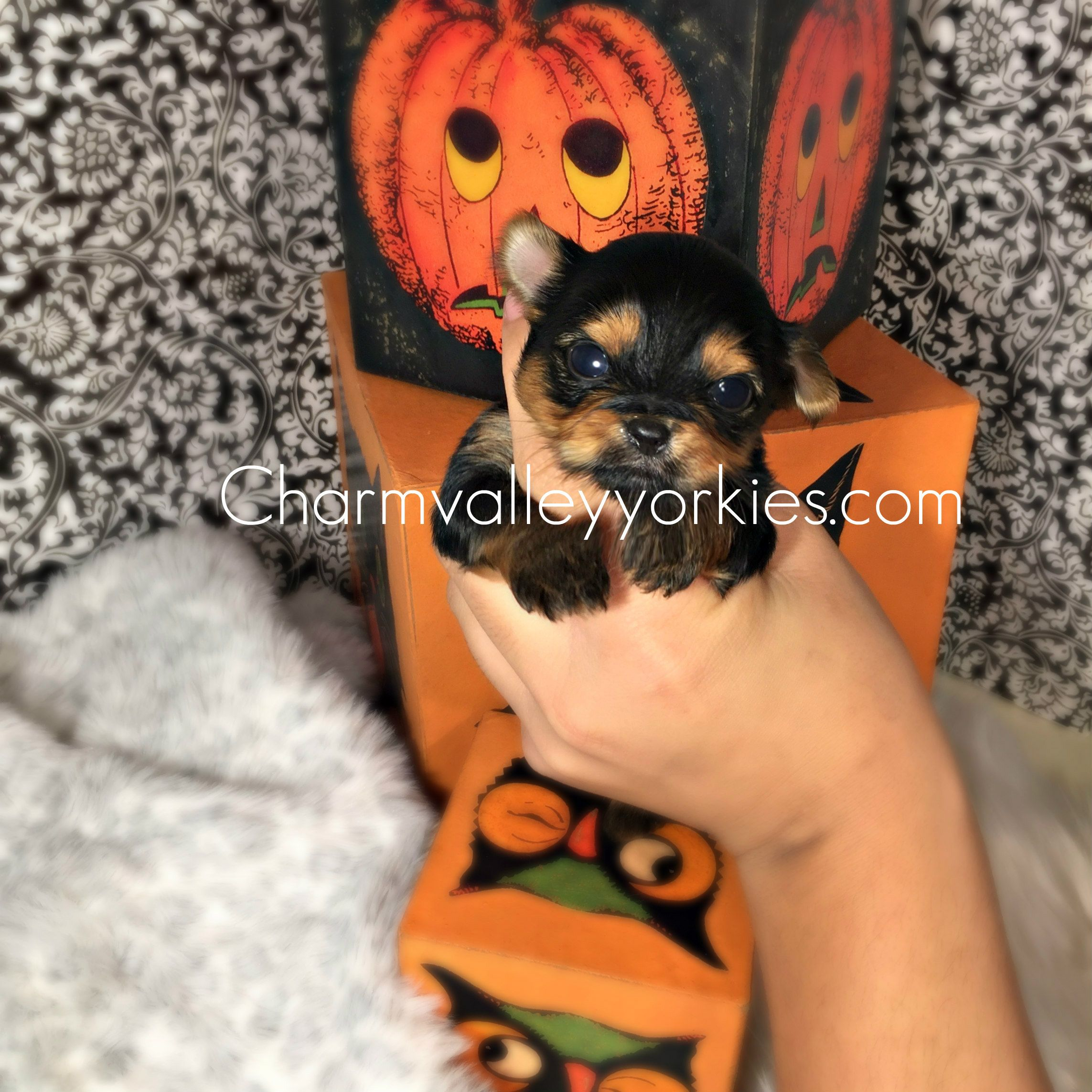Charm Valley Yorkies Teacup Yorkies For Sale Teacup Yorkie For Sale Yorkie Yorkies For Sale