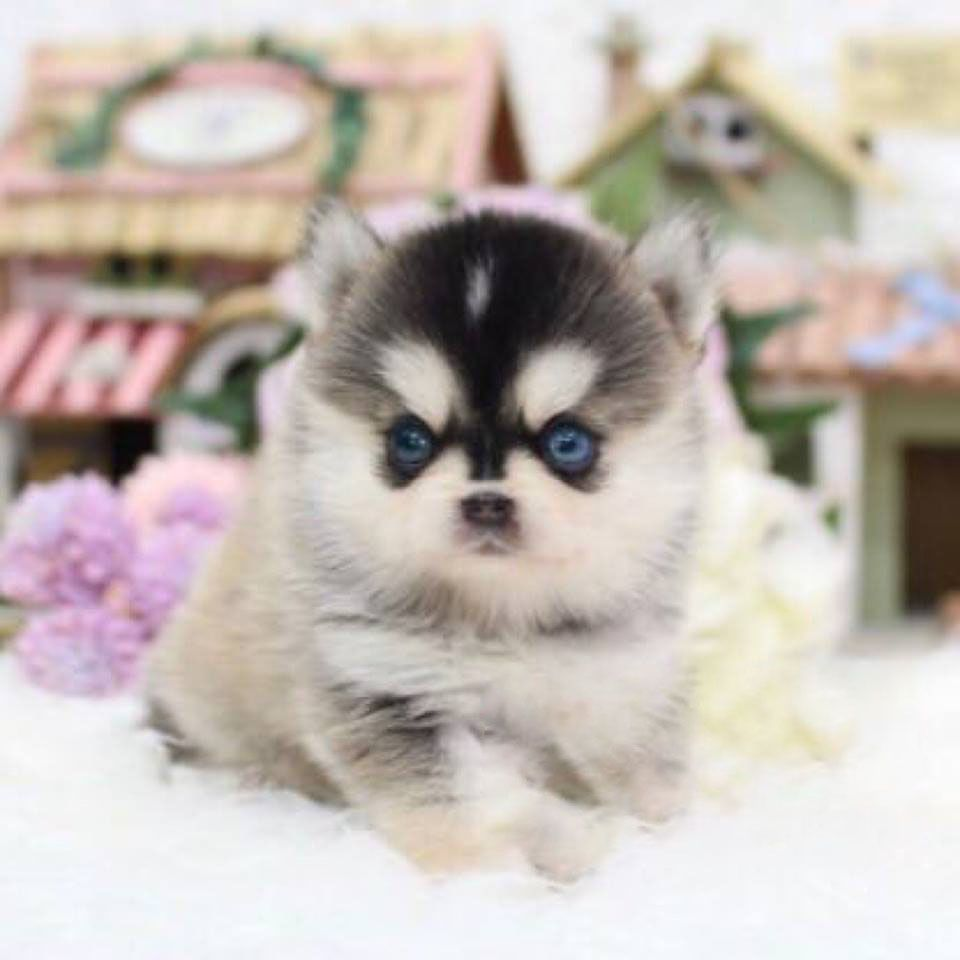 Aurora Tiny Teacup Pomsky Posh Pocket Pups Pomsky Puppies Puppy Breeds Puppies