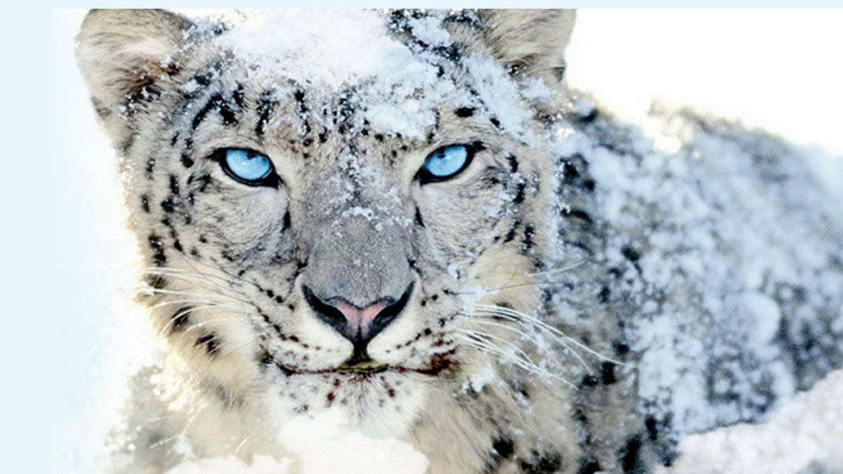 Endangered Snow Leopards Deserve Our Help And Protection