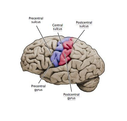 Human brain diagram precentral gyrus application wiring diagram precentral gyrus central sulcus postcentral gyrus anatomy rh pinterest ca brain areas diagram map of the precentral gyrus ccuart Image collections