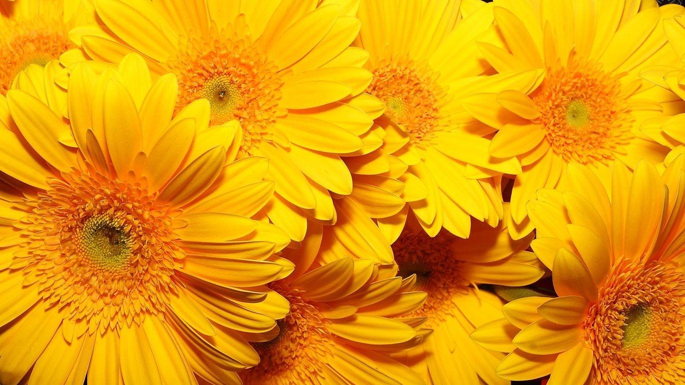 Girasoles fondos de pantalla flores grandes color amarillo 384460 girasoles fondos de pantalla flores grandes color amarillo thecheapjerseys Images