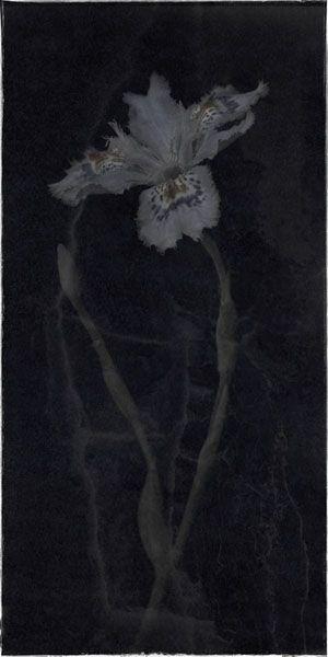 "Flowers in Neutral Moment-2015 "" Iris tectorum "" Archival pigment print Printed on cotton rag fine art paper Photo by Soichi Oshika"