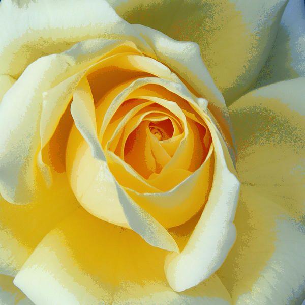 Yellow Peace Rose print, framed print, acrylic print, tin print ...