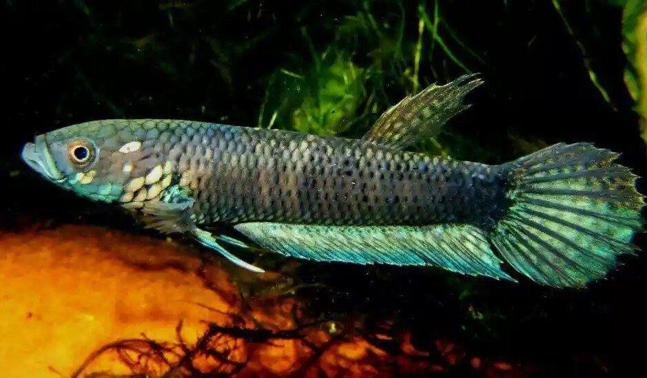fwbettas1446754525 - special wild catch uni kayan big size