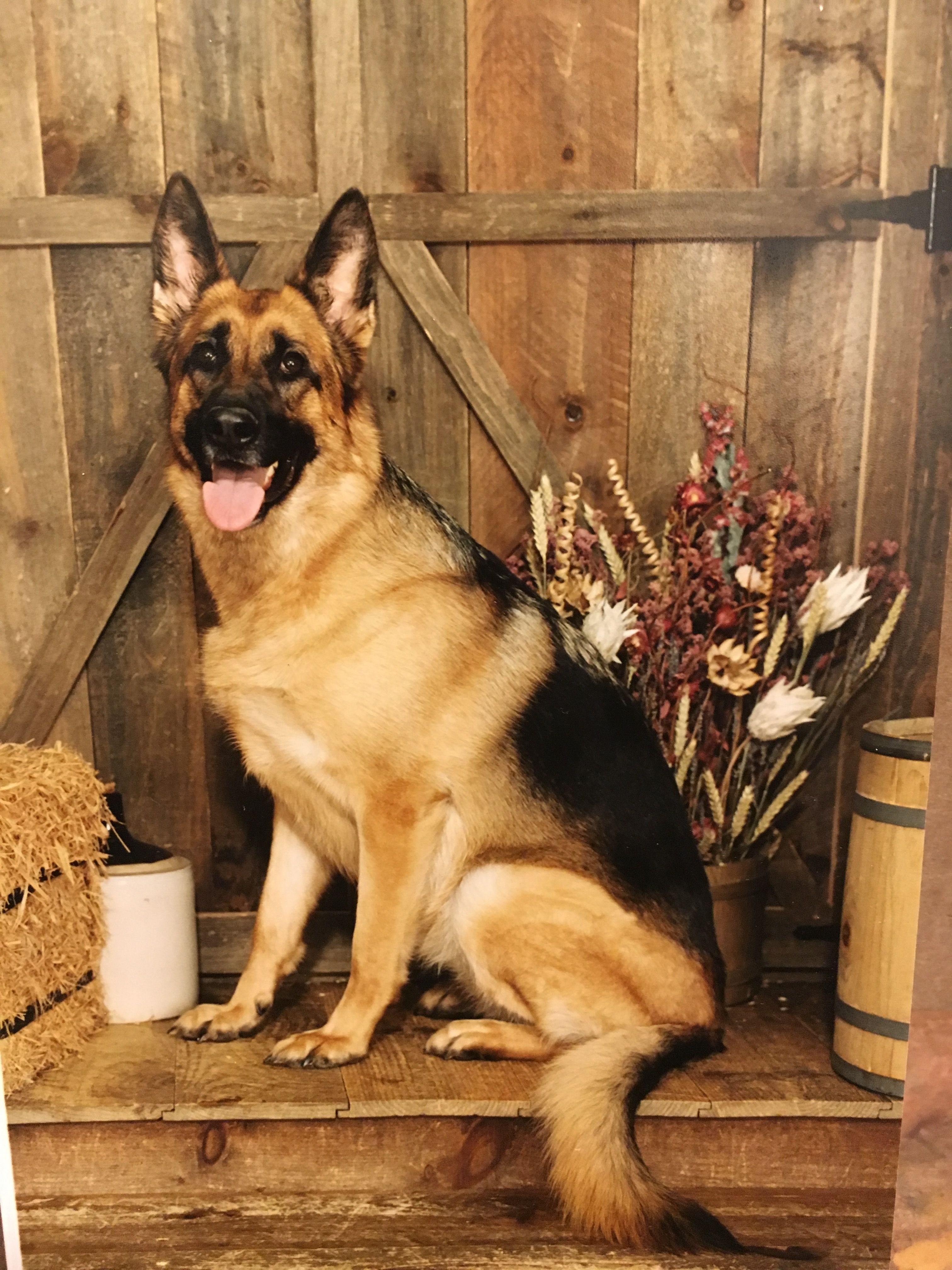 My First Gsd Kiri One Of The Greatest Dogs I Ve Ever Owned