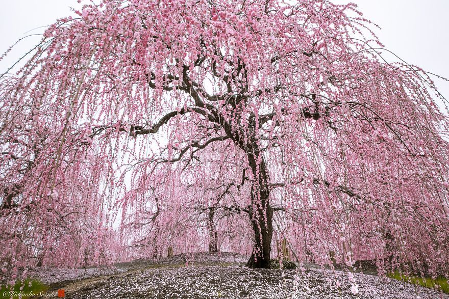 I Captured Plum Trees Blooming In Japan Forest Garden Tree Landscape Photographers