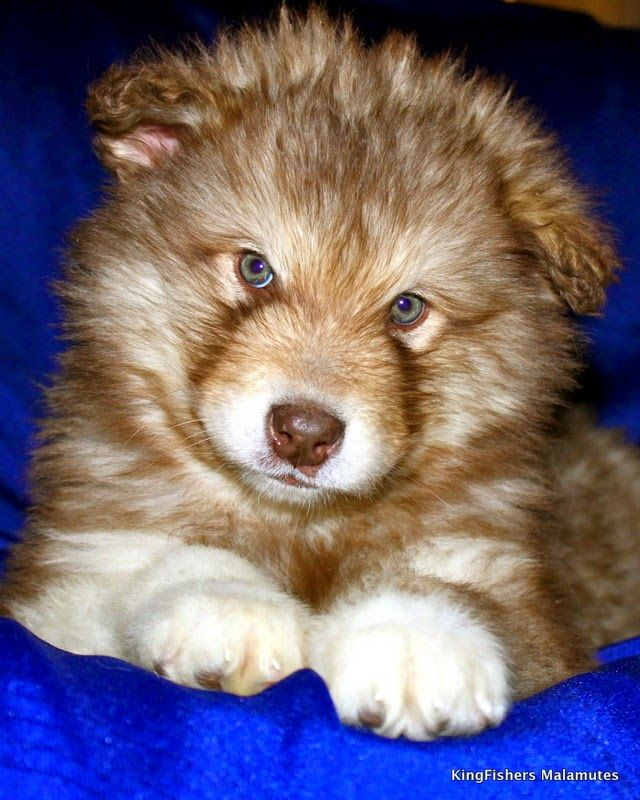 Wonderful Alaskan Malamute Chubby Adorable Dog - 79328922c5944198167727d38566c650  You Should Have_764362  .jpg