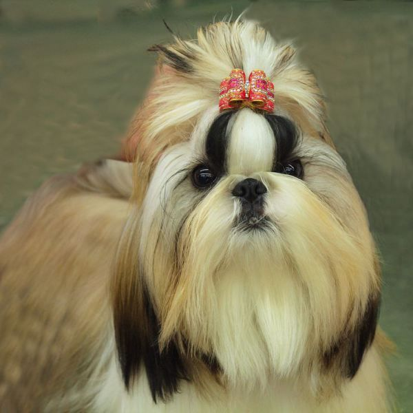Dog Grooming Tips for Shih Tzu Puppies