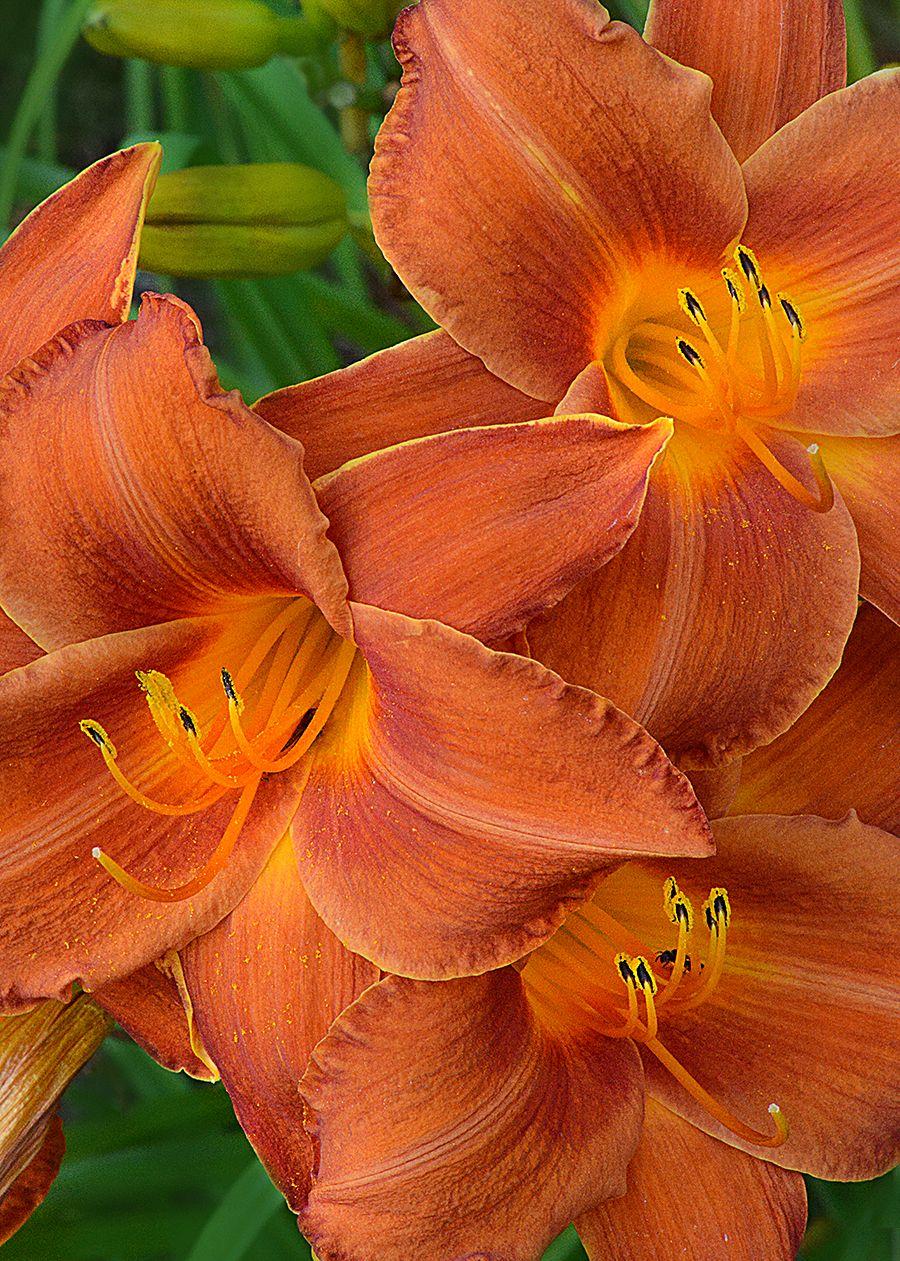 Daylily 'Paprika Velvet'