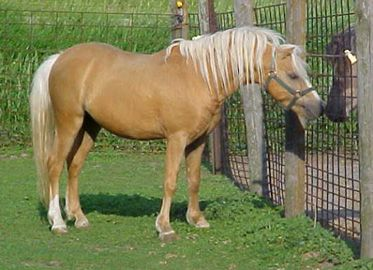 Royal Bold Gold, palomino Shetland pony stallion. I was the princess who actually got a pony. His name was Pharoah.