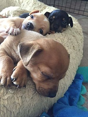 Chandler Az Chihuahua Dachshund Mix Meet Puppies A Puppy For