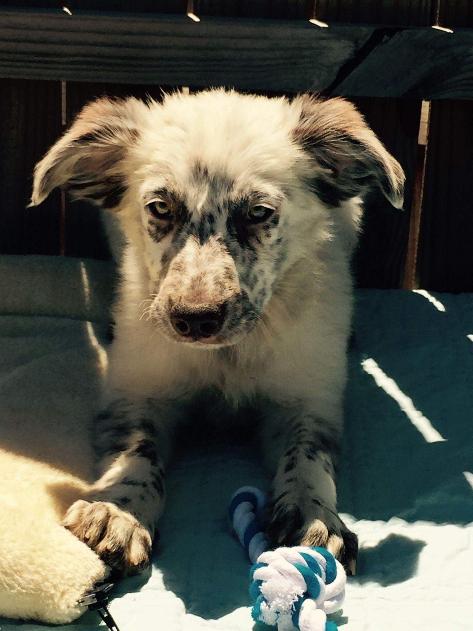 Australian Shepherd dog for Adoption in Del Rio, TX. ADN-554941 on PuppyFinder.com Gender: Female. Age: Young