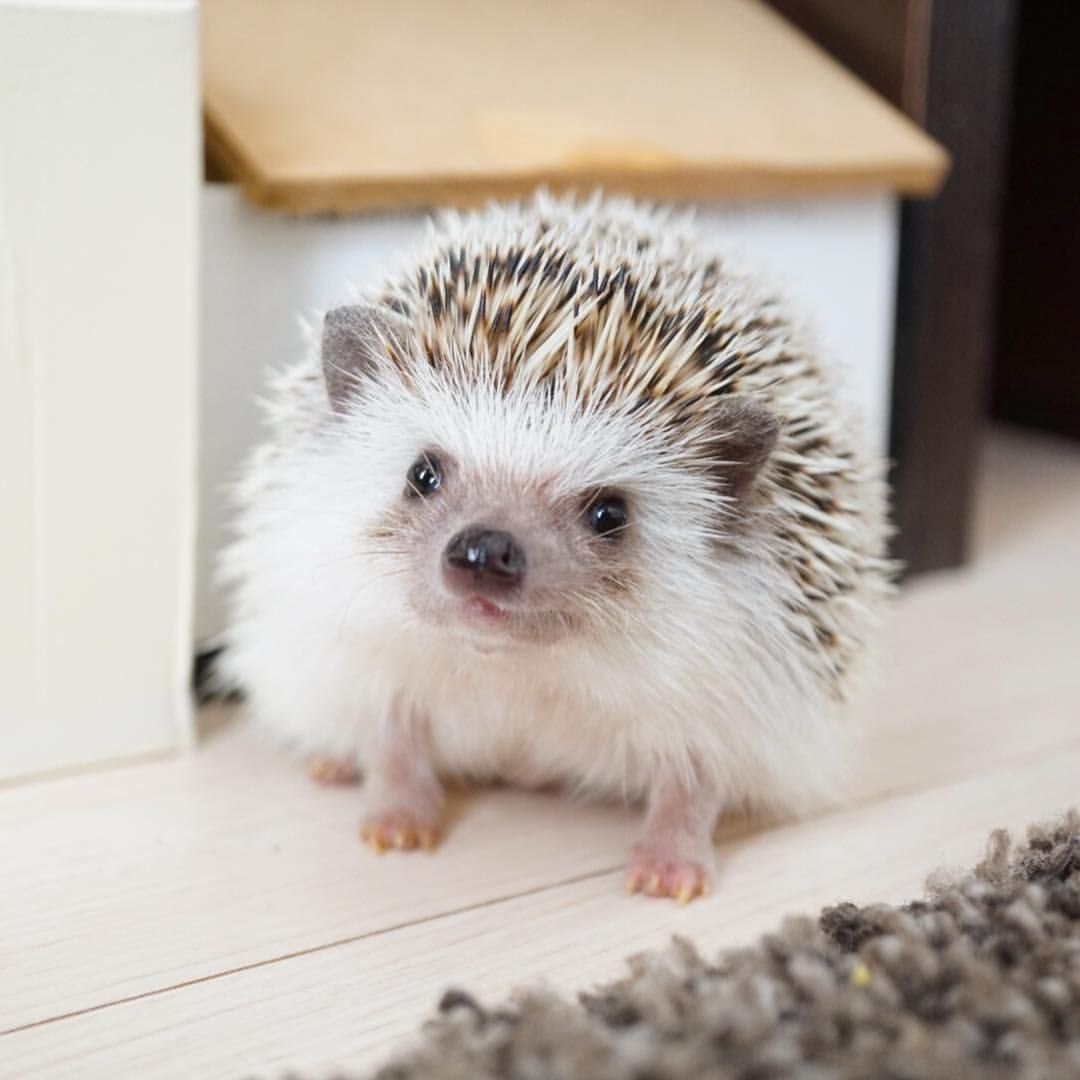 いい顔。 最近ハリは、人がリビングにいるときはほとんど放し飼いになってます。 #hedgie #hedgehog #ハリネズミ #はりねずみ #hérisson…