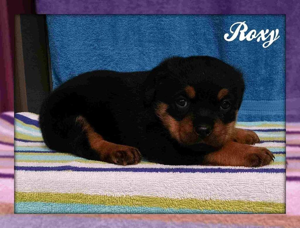 Roxy Female Akc Rottweiler Full Price 999 00 Deposit