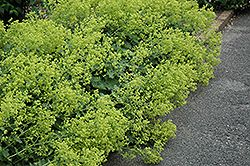 Click to view full-size photo of Thriller Lady's Mantle (Alchemilla 'Thriller') at Gertens