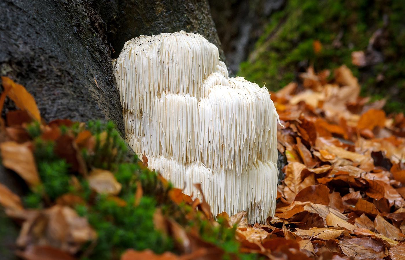 Lion's mane is a culinary and medicinal mushroom. In China