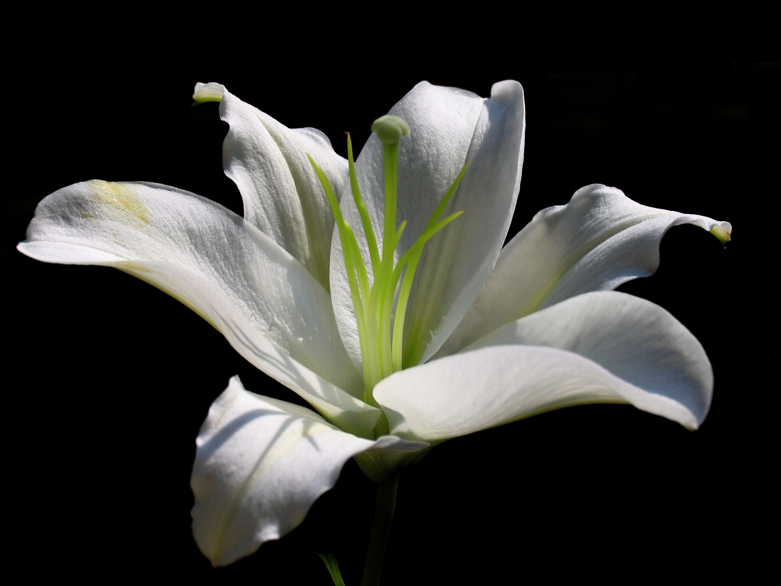 Lily flower google search lily flower pinterest white lily white lily flower page 1 izmirmasajfo Gallery