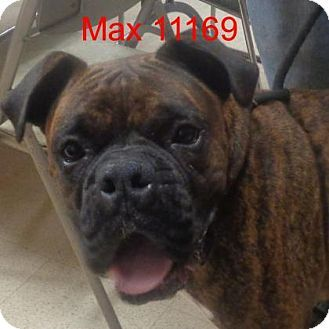 Baltimore Md Boxer Meet Max A Dog For Adoption Http Www