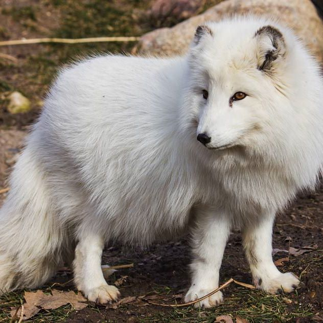 The Arctic Fox S Coat Changes Color With The Seasons During The