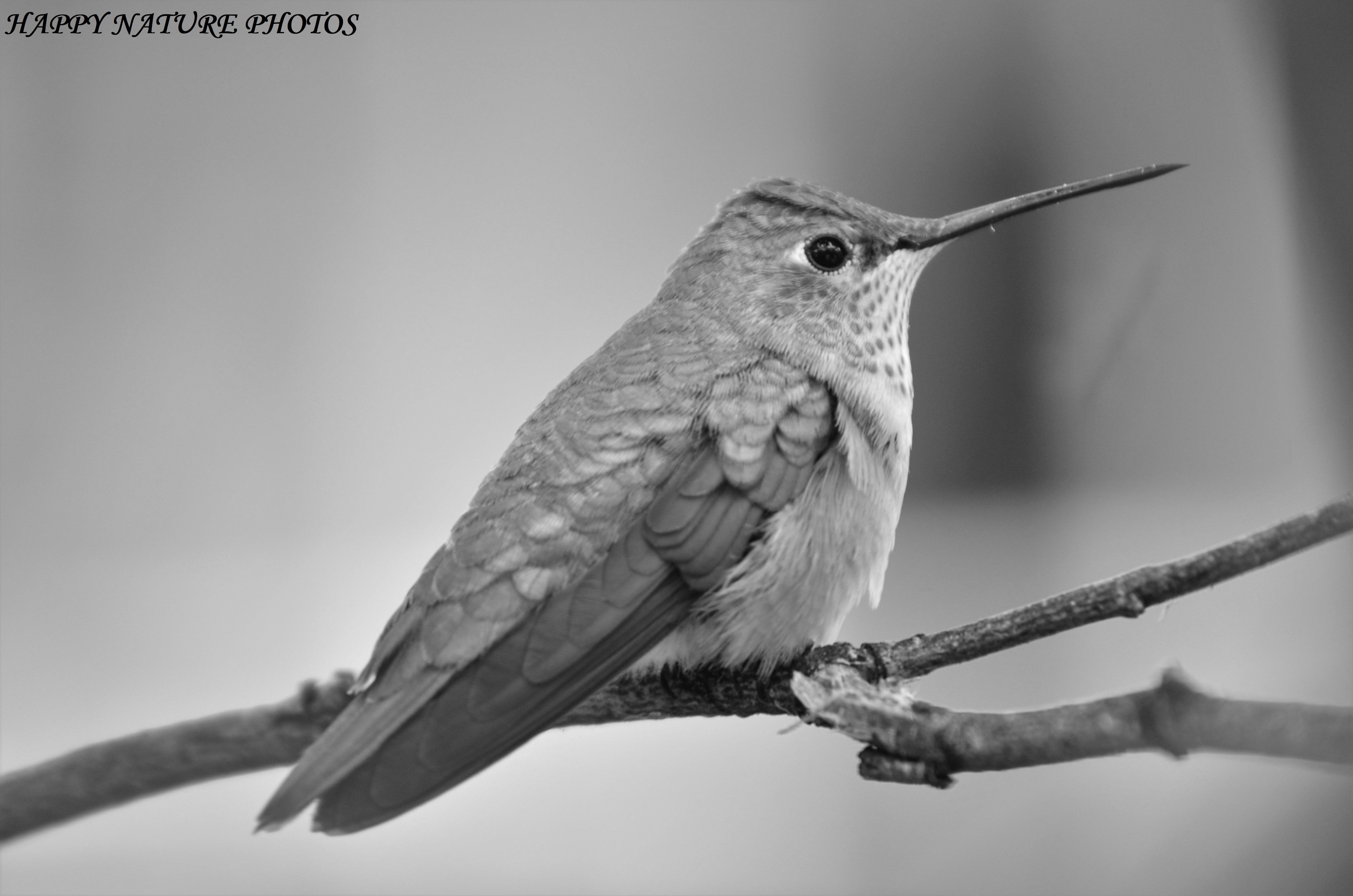 Broad Tailed Hummingbird Bird Photography Hummingbird Black And White