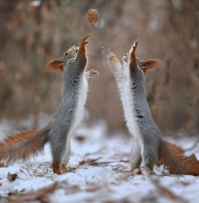 Photographer Captures A Cute Squirrel Photo Shoot ส ตว สวยงาม ส ตว สต ฟฟ การถ ายภาพส ตว