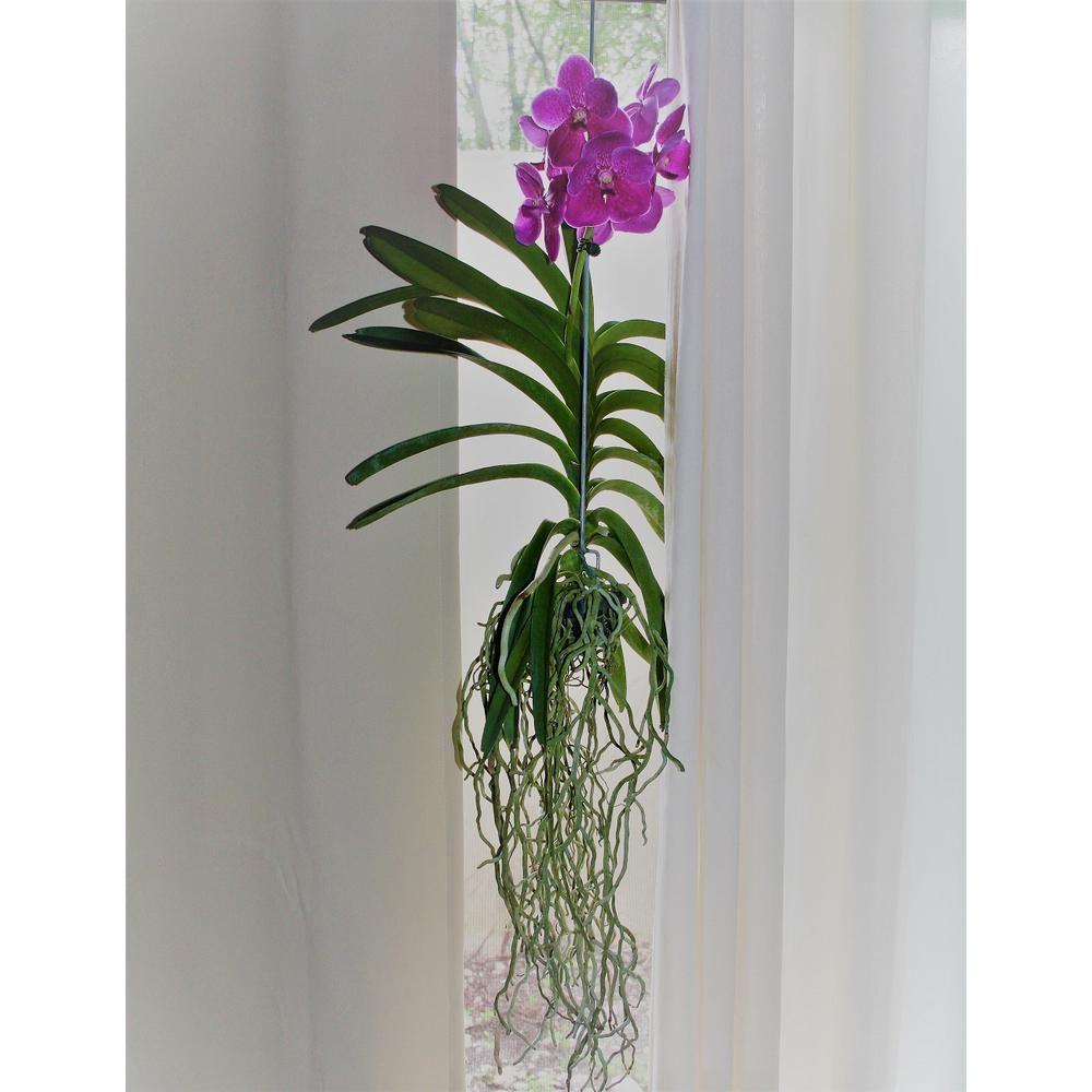 Grower S Vanda Orchid On Hanger No Bloom Grovan The Home Depot 꽃