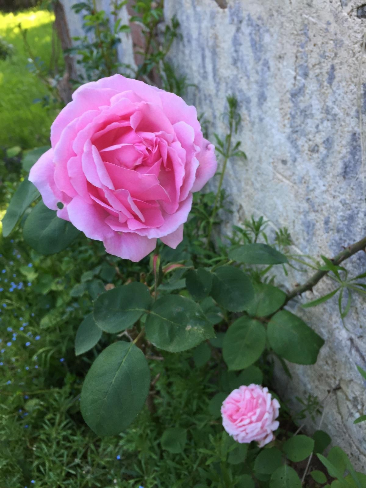 Greffe du rosier du jardin d 39 enfance de sainte th r se de lisieux dans notre boutique en ligne - La boutique du jardin ...