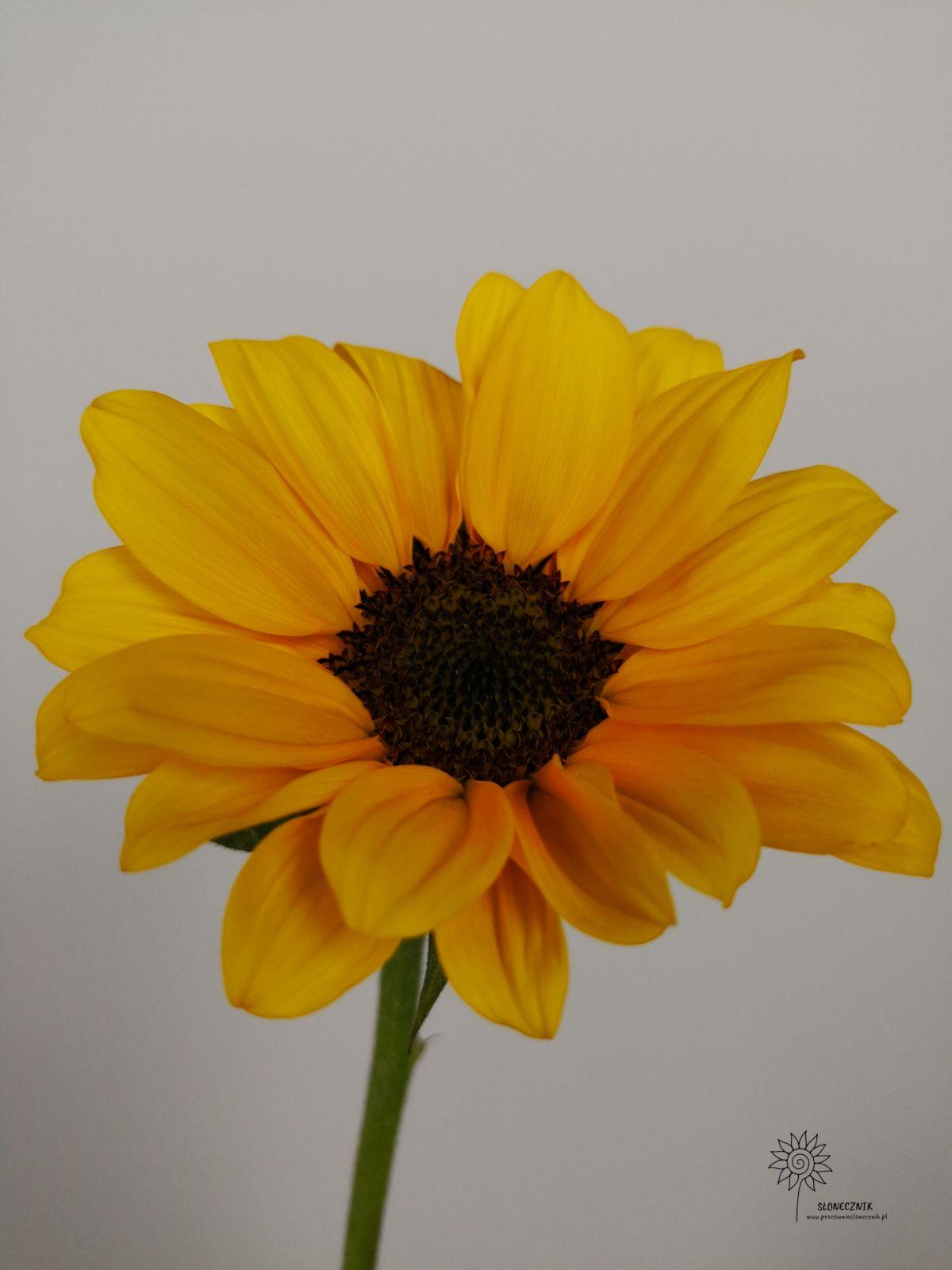 Kwiaty Slonecznik Sunflower Sunflower Flowers Plants