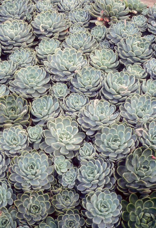 Succulent Drought Tolerant Hen Amp Chicks Plant With Blue