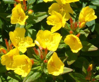 Sunthe Bold Golden Sundrop Is A Stunning Plant In Erfly Garden This Perennial Bursts Deadheadingflower Close
